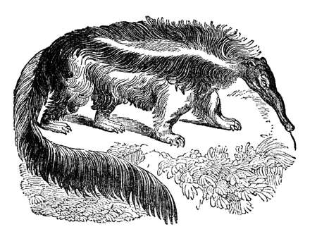 restored: Victorian engraving of an anteater. Digitally restored image from a mid-19th century Encyclopaedia.