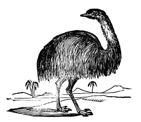 restored: Victorian engraving of an emu. Digitally restored image from a mid-19th century Encyclopaedia. Stock Photo