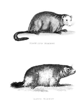 marmot: Victorian engraving of a marmot. Digitally restored image from a mid-19th century Encyclopaedia.