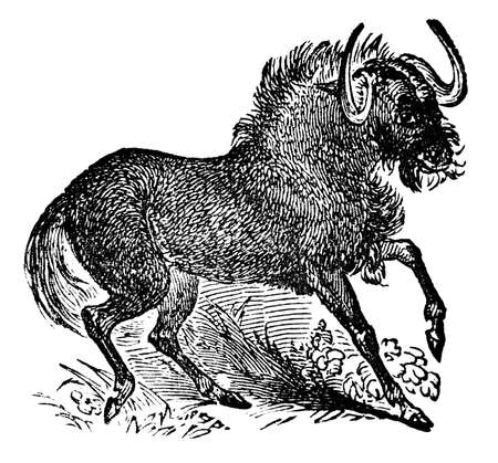 Victorian engraving of a gnu. Digitally restored image from a mid-19th century Encyclopaedia. Banco de Imagens