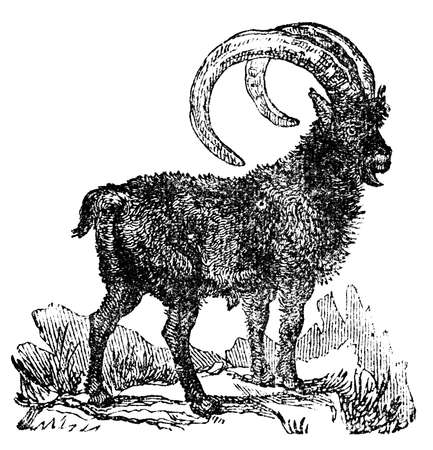 restored: Victorian engraving of an ibex. Digitally restored image from a mid-19th century Encyclopaedia.