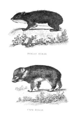 restored: Victorian engraving of a hyrax. Digitally restored image from a mid-19th century Encyclopaedia.