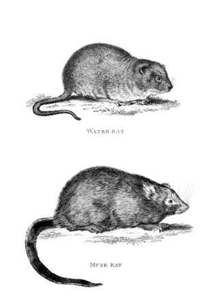 restored: Victorian engraving of a musk rat and water rat. Digitally restored image from a mid-19th century Encyclopaedia.
