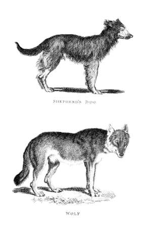 restored: Victorian engraving of a wolf and shepherd dog. Digitally restored image from a mid-19th century Encyclopaedia.