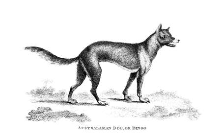 dingo: Victorian engraving of a dingo. Digitally restored image from a mid-19th century Encyclopaedia. Stock Photo