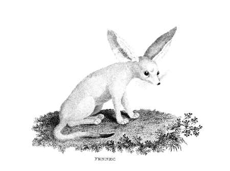 restored: Victorian engraving of a fennec fox. Digitally restored image from a mid-19th century Encyclopaedia.