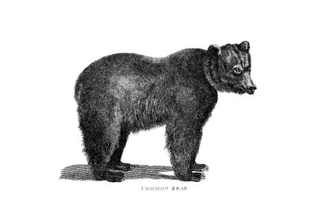 Victorian engraving of a bear. Digitally restored image from a mid-19th century Encyclopaedia. Фото со стока