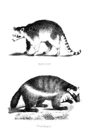 wolverine: Victorian engraving of a wolverine and raccoon. Digitally restored image from a mid-19th century Encyclopaedia. Stock Photo