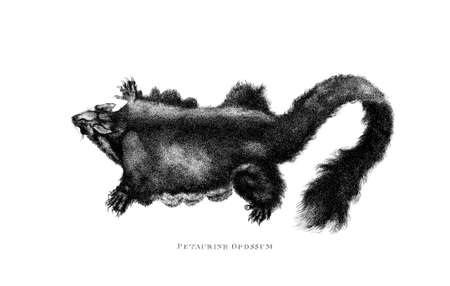 restored: Victorian engraving of an opossum. Digitally restored image from a mid-19th century Encyclopaedia. Stock Photo