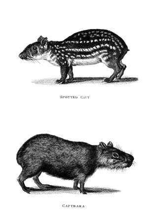 Victorian engraving of a cavy and a capybara. Digitally restored image from a mid-19th century Encyclopaedia.