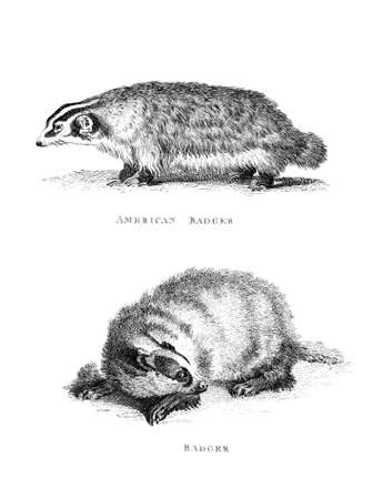 badger: Victorian engraving of a badger. Digitally restored image from a mid-19th century Encyclopaedia. Stock Photo