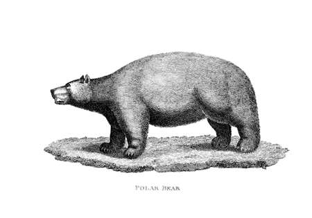 Victorian engraving of a polar bear. Digitally restored image from a mid-19th century Encyclopaedia. Фото со стока - 42492895