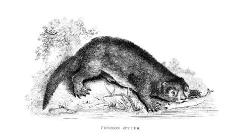 restored: Victorian engraving of an otter. Digitally restored image from a mid-19th century Encyclopaedia.