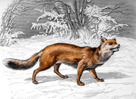 Victorian engraving of a fox. Digitally restored image from a mid-19th century Encyclopaedia.