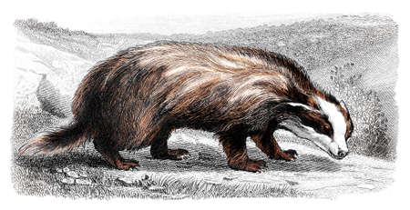 wolverine: Victorian engraving of a wolverine. Digitally restored image from a mid-19th century Encyclopaedia. Stock Photo