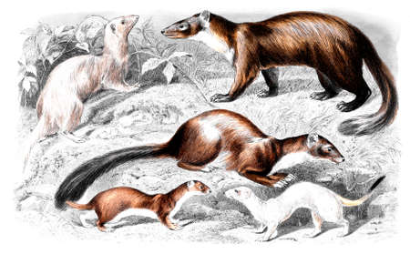 mink: Victorian engraving of minks. Digitally restored image from a mid-19th century Encyclopaedia.