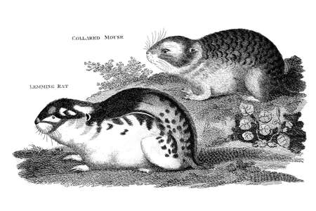 restored: Victorian engraving of lemmings. Digitally restored image from a mid-19th century Encyclopaedia.