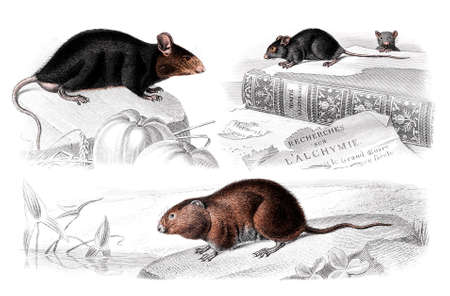 restored: Victorian engraving of mice and rats. Digitally restored image from a mid-19th century Encyclopaedia.
