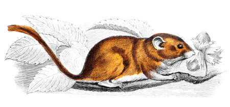 restored: Victorian engraving of a mouse. Digitally restored image from a mid-19th century Encyclopaedia.