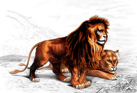 restored: Victorian engraving of a lion. Digitally restored image from a mid-19th century Encyclopaedia.