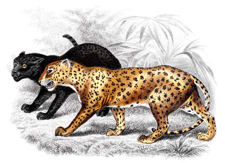 restored: Victorian engraving of a panther. Digitally restored image from a mid-19th century Encyclopaedia.