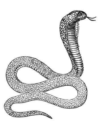 restored: Victorian engraving of a cobra. Digitally restored image from a mid-19th century Encyclopaedia. Stock Photo