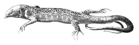 19th century engraving of a Great Lizard