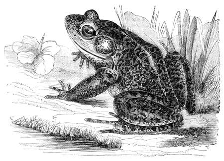 restored: Victorian engraving of a frog. Digitally restored image from a mid-19th century Encyclopaedia.