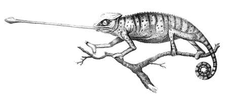 19th: 19th century engraving of a chameleon lizard