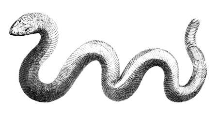 slither: 19th century engraving of a snake Stock Photo