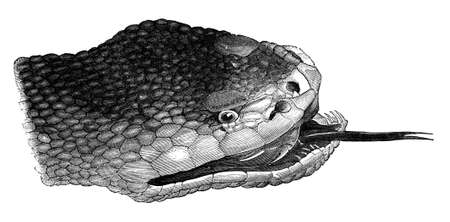 hiss: 19th century engraving of a snake head