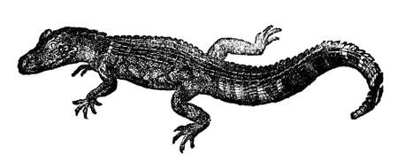 gator: Victorian engraving of an alligator. Digitally restored image from a mid-19th century Encyclopaedia.