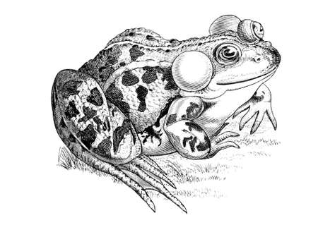 edible: 19th century engraving of an edible frog Stock Photo
