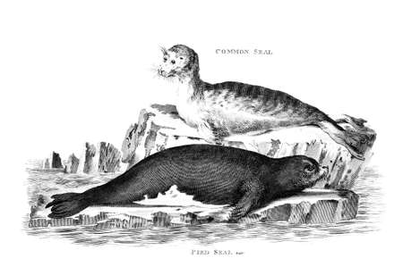 Victorian engraving of a seal. Digitally restored image from a mid-19th century Encyclopaedia.