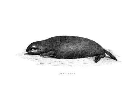 Victorian engraving of a sea otter. Digitally restored image from a mid-19th century Encyclopaedia.