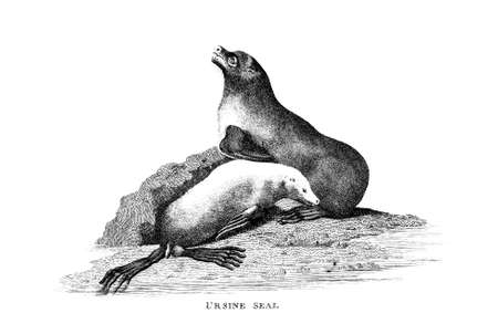 restored: Victorian engraving of a seal. Digitally restored image from a mid-19th century Encyclopaedia.