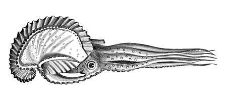 argonaut: Victorian engraving of an argonaut octopus. Digitally restored image from a mid-19th century Encyclopaedia. Stock Photo