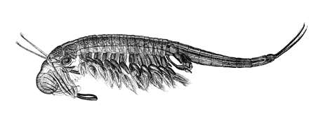 tadpole: 19th century engraving of a tadpole shrimp Brachipus