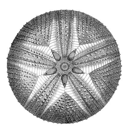 sea urchin: 19th century engraving of an echinoid sea urchin Stock Photo