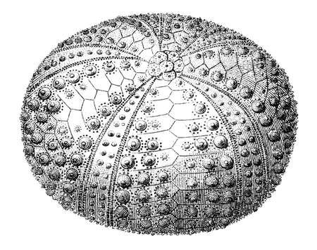 19th century engraving of an echinoid sea urchin Imagens