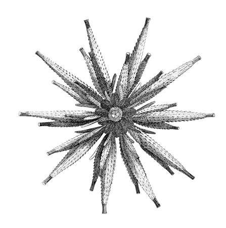 에키 노이드 성게의 19 세기 조각 스톡 콘텐츠