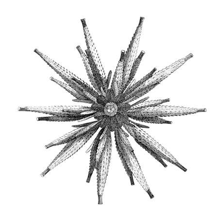 19th century engraving of an echinoid sea urchin Stock Photo