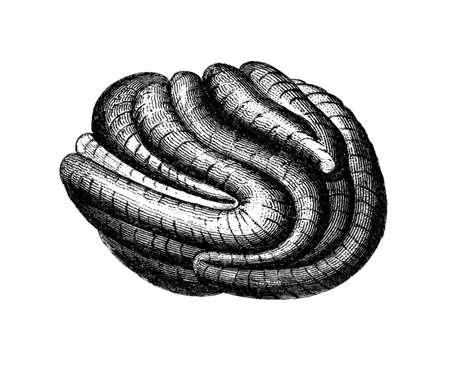 Victoriaanse gravure van een koraal. Digitaal gerestaureerd beeld uit een encyclopedie uit het midden van de 19e eeuw.