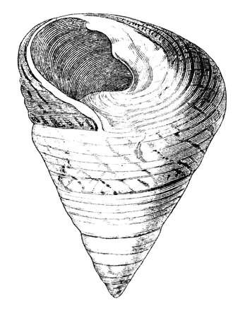 19th: 19th century engraving of a sea shell Stock Photo