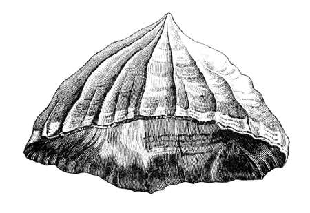 sea shell: 19th century engraving of a sea shell Stock Photo