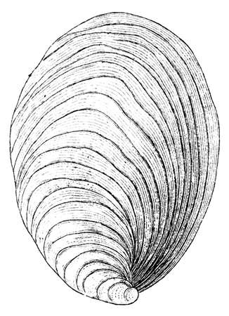 clam illustration: 19th century engraving of a sea shell Stock Photo