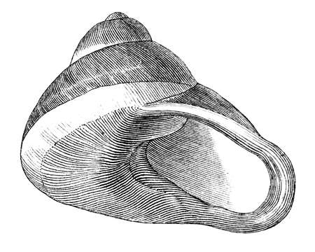gastropod: 19th century engraving of a sea shell Stock Photo