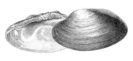 mussel: 19th century engraving of a mussel shell Stock Photo