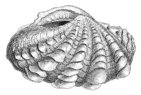 clam: 19th century engraving of a clam shell Stock Photo