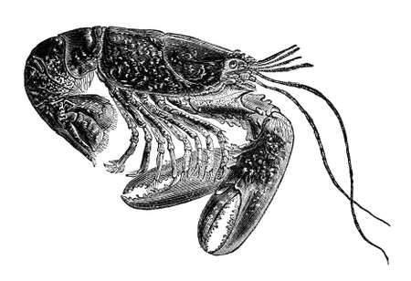 19th century engraving of a lobster